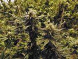 Zeer grote wietkwekerij met 10.000 planten ontdekt