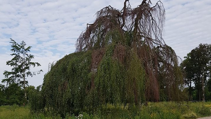 Voorgenomen kap Treurbeuk Landgoed Welleveld