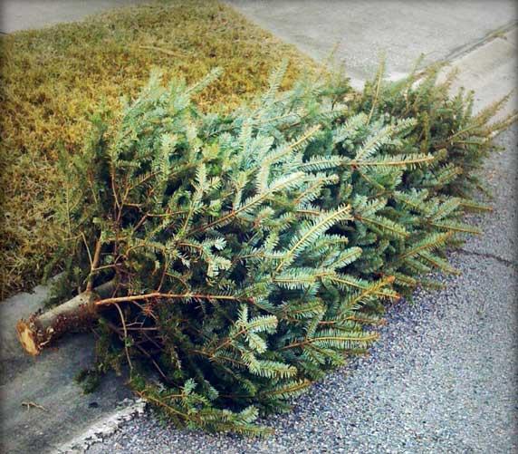 Inzameling kerstbomen in Duiven